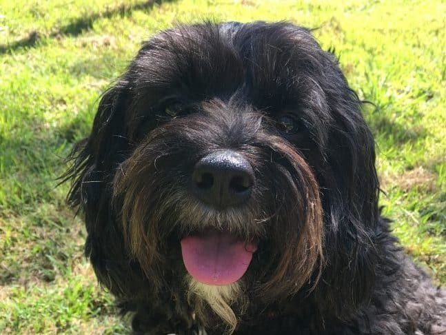 Puck the Cavoodle